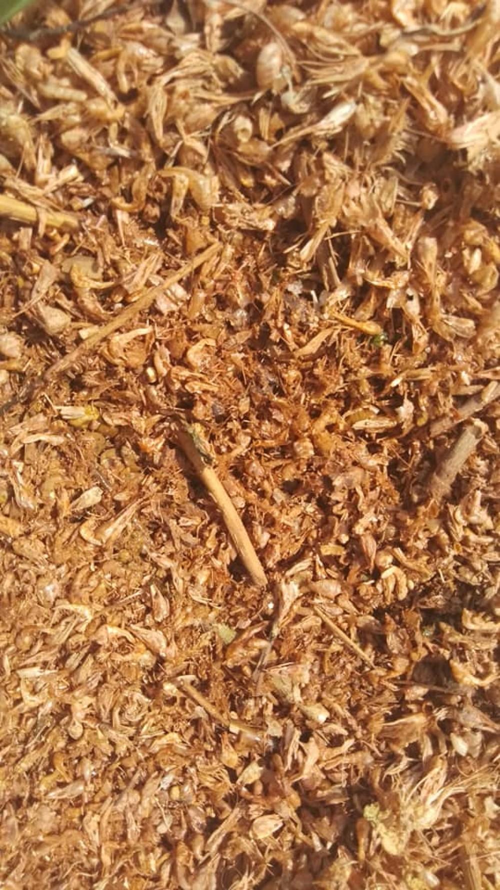 В Хаджибейском лимане массовый замор креветки