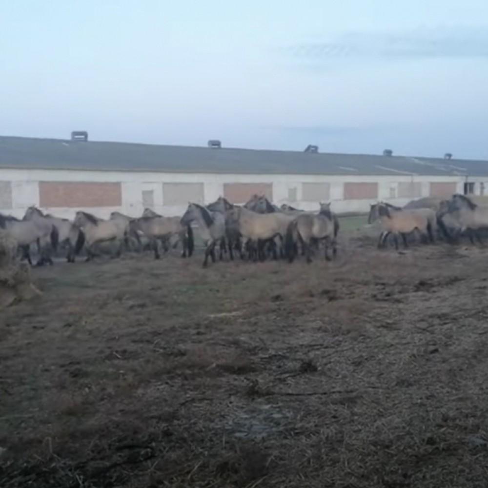 Экологи поселят на юге Одесской области еще 40 диких лошадей из Латвии