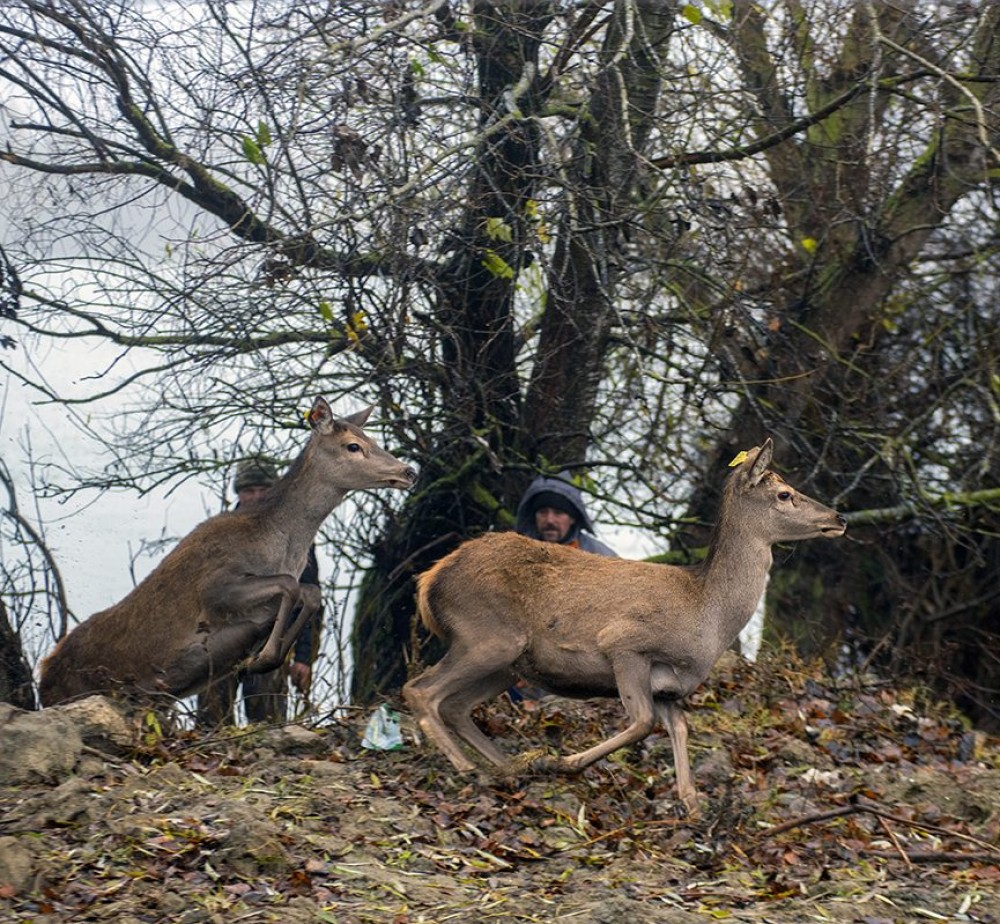 В Дунайский биосферный заповедник выпустили 12 ланей и 4 оленя