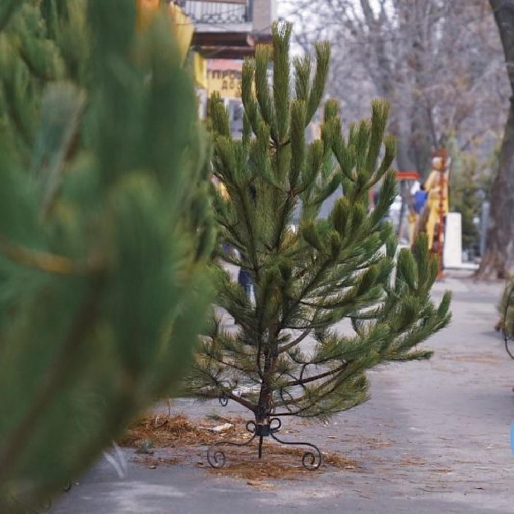 Ёлочные базары в Одессе начали работу // Что почём и как выбрать легальное новогоднее дерево