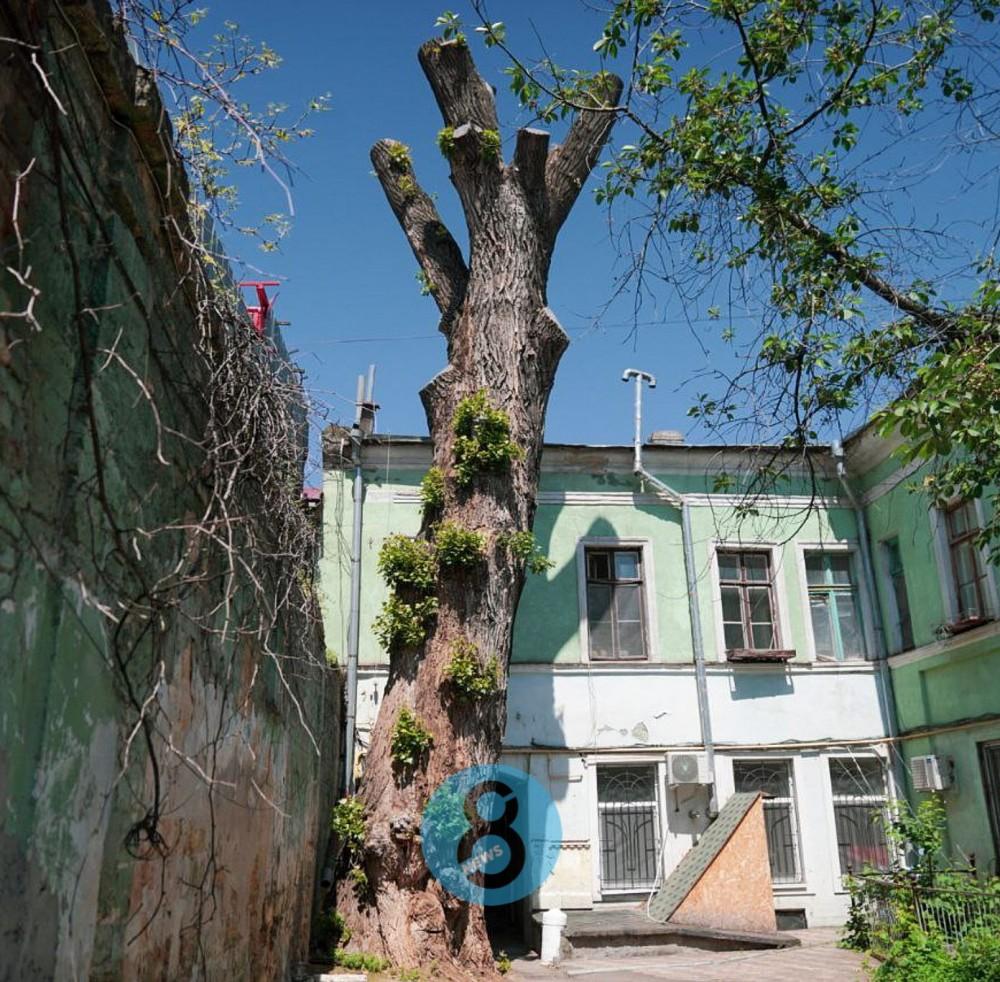 200-летний тополь на Торговой ожил после стараний специалистов