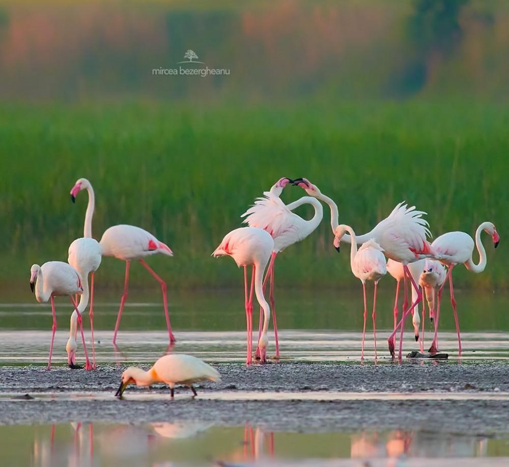 В дельте Дуная заметили стаю розовых фламинго
