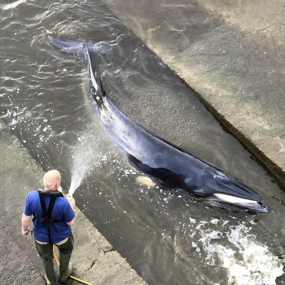 Застрял в Темзе // В Лондоне спасли попавшего на мель кита